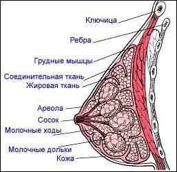 Упругие сиськи после родов